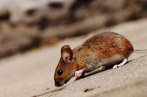 Consejos para evitar que los ratones entren en su casa