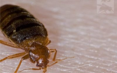 If you have bedbugs you must do these 7 steps